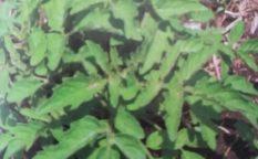 トマト栽培自然生え