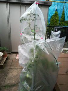 家庭菜園トマト雨対策